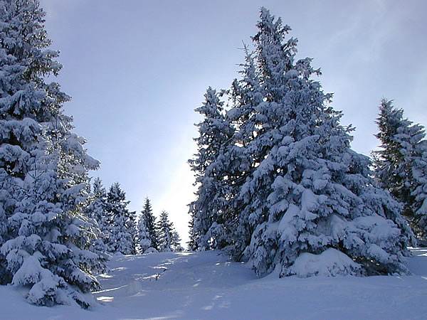 Trees and deep powder at the top of the Laber